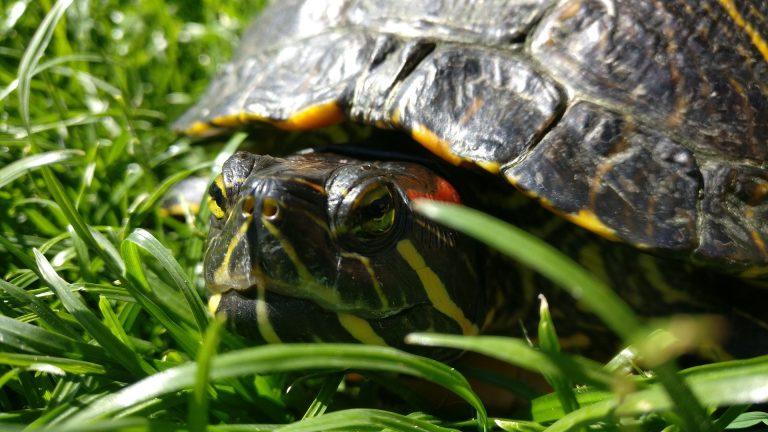 turtle-2390825_1920
